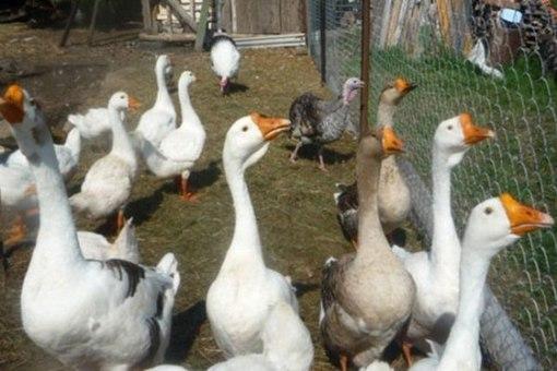 разведение гусей в домашних условиях подробно видео