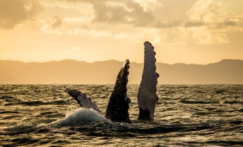 Горбатые киты в Доминикане: Где и когда можно увидеть горбачей в океане, изображение №3