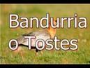 Bandurria o Tostes- Es un ibis grande y pesado de varios colores.