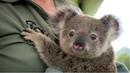 KOALA - A Cute Koala Videos And Funny Koala Bear Compilation    PETS And ANIMALS