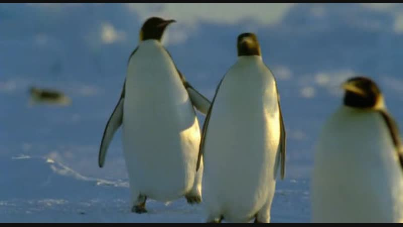 BBC Ребятам о зверятах Императорский пингвин