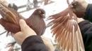 Николаевские голуби. Бердянский район. Голуби Украины 2019 года
