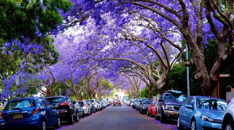 Цветение Жакаранды в Австралии, изображение №1
