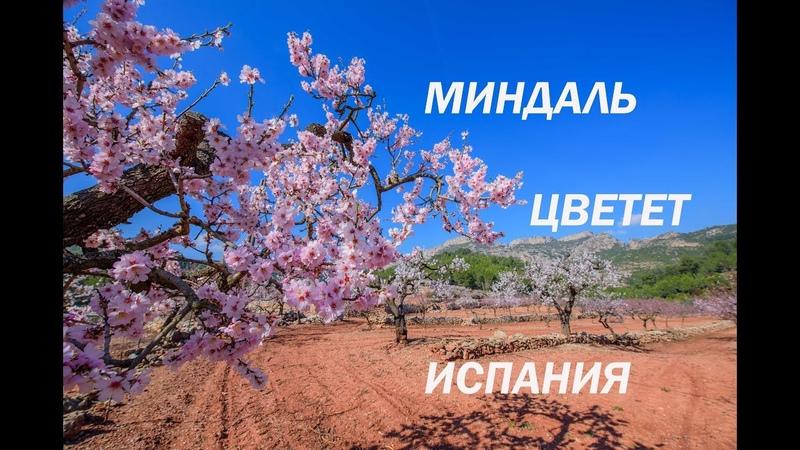 Гуляем среди цветущих деревьев миндаля в Испании в феврале. IraGerold. Зима в Каталонии.
