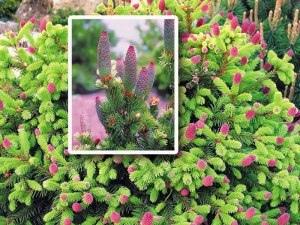 Ель колючая Лилу Издали эту очаровательную пушистую малышку можно принять за цветущий розовый кустик! Необычайно живописное и привлекательное деревце с нежно-салатовыми кисточками молодых