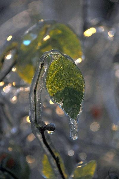 В плену ледяного дождя Ледяной дождь не самое приятное погодное явление и головная боль для многих служб, однако глазурированные пейзажи, которые можно наблюдать после него, радуют глаз своей