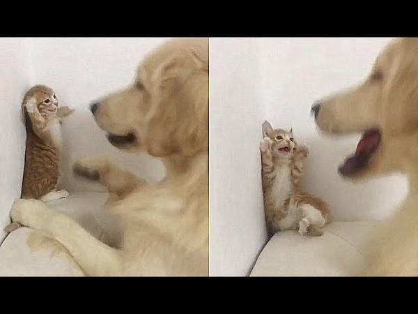 개와 맞짱뜨는 새끼 고양이...힐링되는 웃긴 영상 34탄
