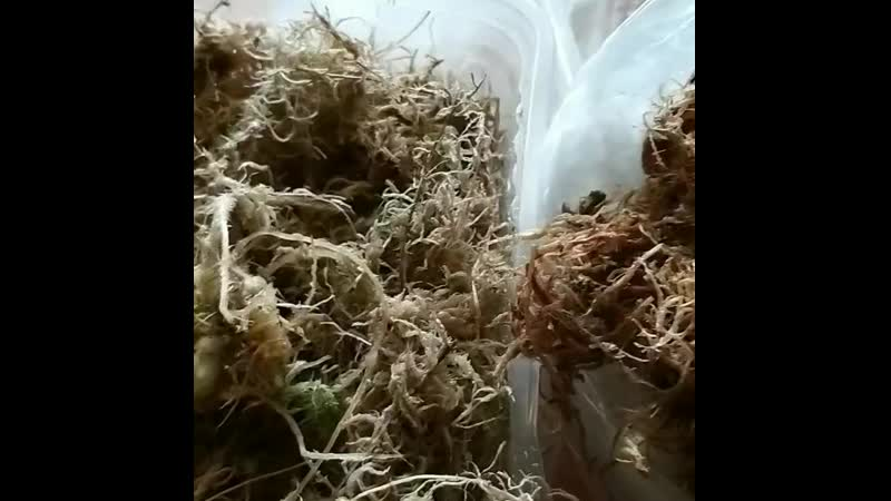 Выращивание лилий из чешуек