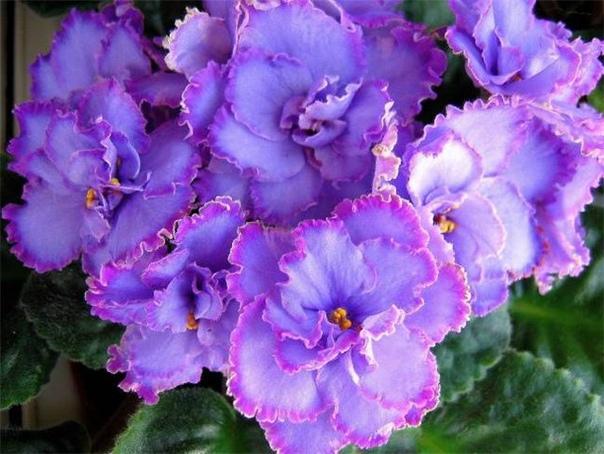 Как добиться пышного цветения сенполий Обильное цветение сенполий обычно начинается в марте. Именно в это время достаточно большой световой день. Конечно, если вы имеете возможность досвечивать