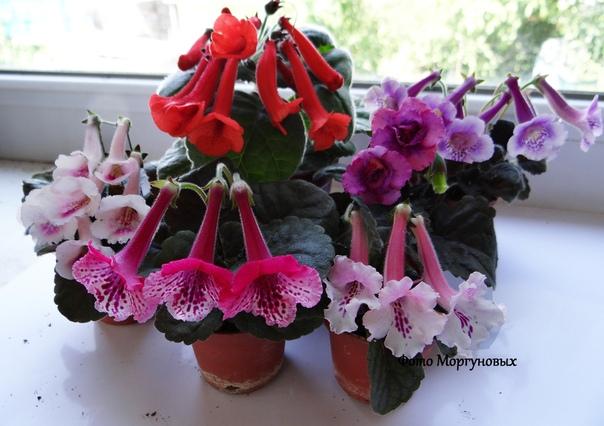 Знакомьтесь: достаточно редкое и новое, очень интересное комнатное растение минисиннингия (Mini Sinningia . Такая кроха в огромном мире комнатных растений. Несмотря на свои миниатюрные размеры
