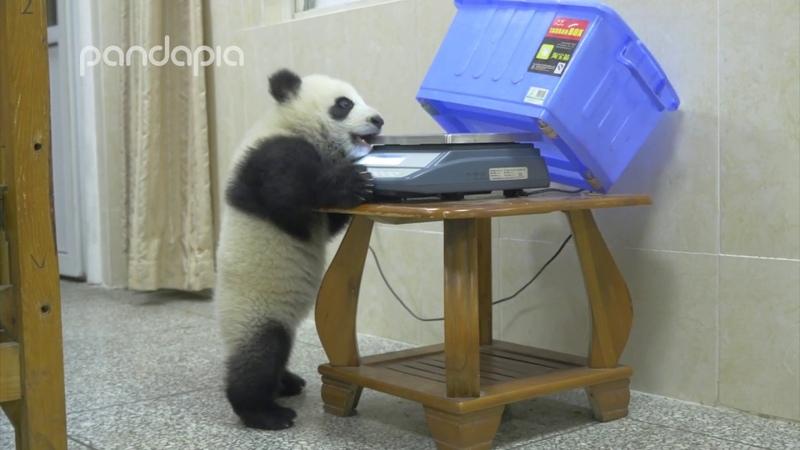 Panda s mischief