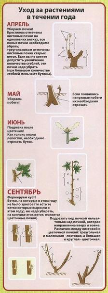Древовидный пион привитый на корень травянистого пиона.
