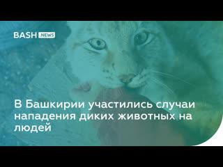 В Башкирии участились случаи нападения диких животных на людей