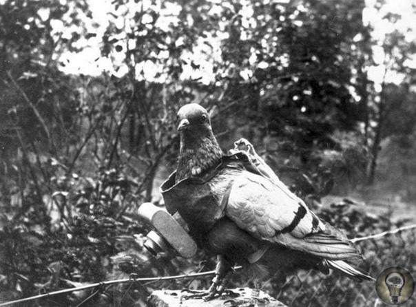 ЖИВЫЕ ДРОНЫ: 7 ЛУЧШИХ ВОЕННЫХ ГОЛУБЕЙ Сейчас вы жалеете птицам семечек и брезгливо отгоняете от чипсов. А во время мировой войны молились бы голубям, как последнему средству связи в критической