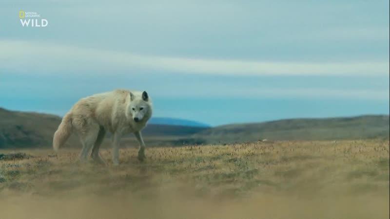 Королевство белого волка Поиск