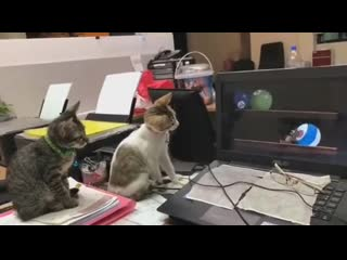Real cats watching Tom and Jerry