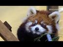 レッサーパンダの赤ちゃん ロンロン旭山動物園~Red Panda Baby Ronron