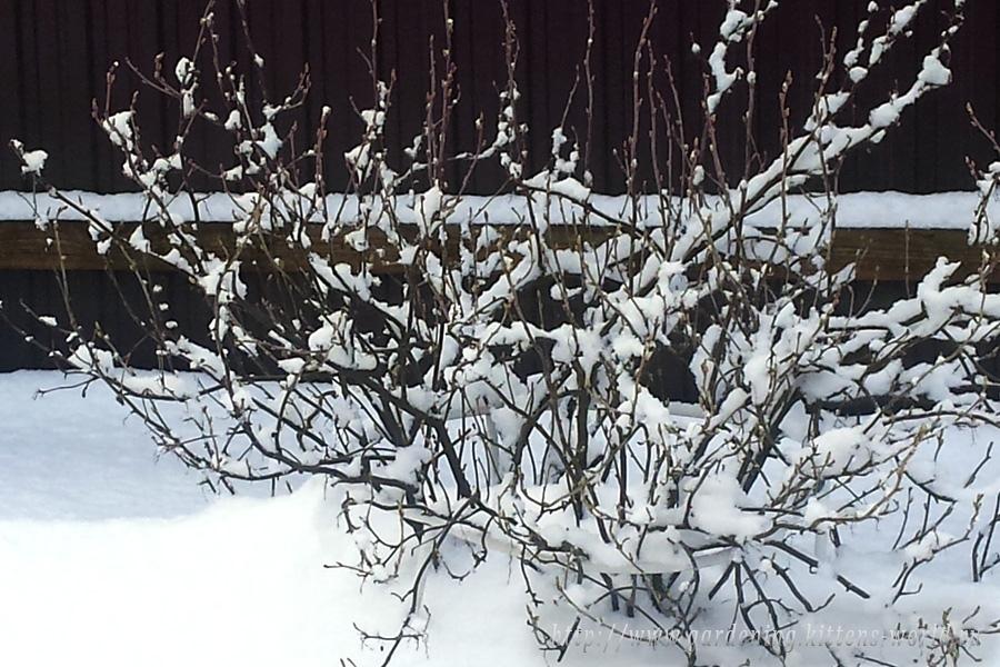 Подготовка смородины к зиме