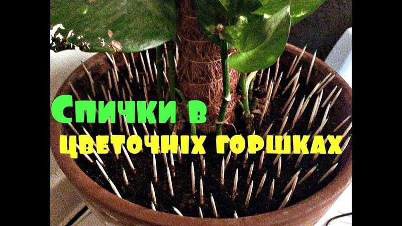 Толковый цветовод знает для чего втыкать спички в горшки с растениями