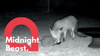 Fox and a hedgehog were caught enjoying a midnight feast together | SWNS
