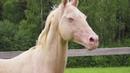 Akhal-teke horses in stud SHAH-TEKE