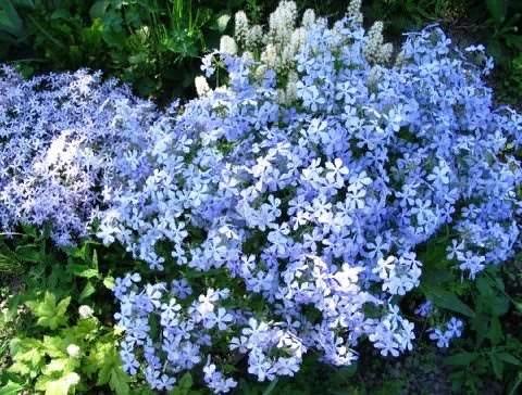 Флокс растопыренный Флокс растопыренный (Phlox divaricata) или как его еще называют «канадский» родом из Северной Америки и Канады, где он произрастает в лесах, вдоль ручьев и на пологих горных