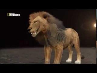 Анатомия крупнейших животных Большие кошки Animal Autopsy 480