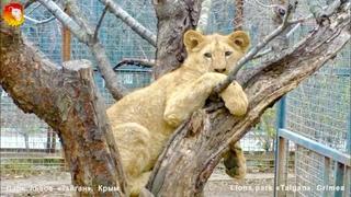 Царь горы или львёнок - птичка . Тайган. Lions cub climb on tree. Taigan.