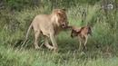 Если бы ЭТО не сняли на камеру НИКТО не поверил БЫ Животные спасают друг друга