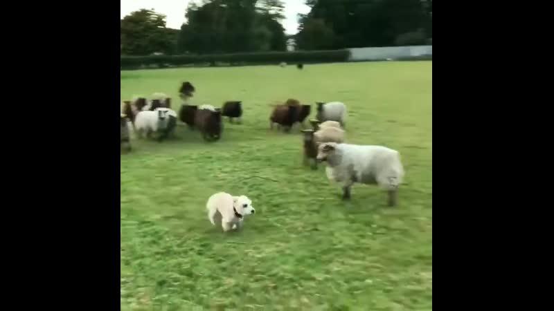 Пёс-пастух по кличке Нельсон