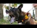 Единственная собака, которую боятся питбули .MALINOIS K9 2 Бельгийский волк BELGİAN SHEPPERD