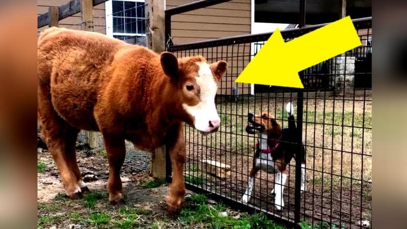 Diese gerettete Kuh denkt sie ist ein Hund So niedlich was sie jeden Tag macht