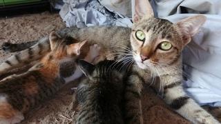 Mom cat feeding Cat Mom Nursing Their Adorable Kittens Cute Cat Videos- Free Video Footages
