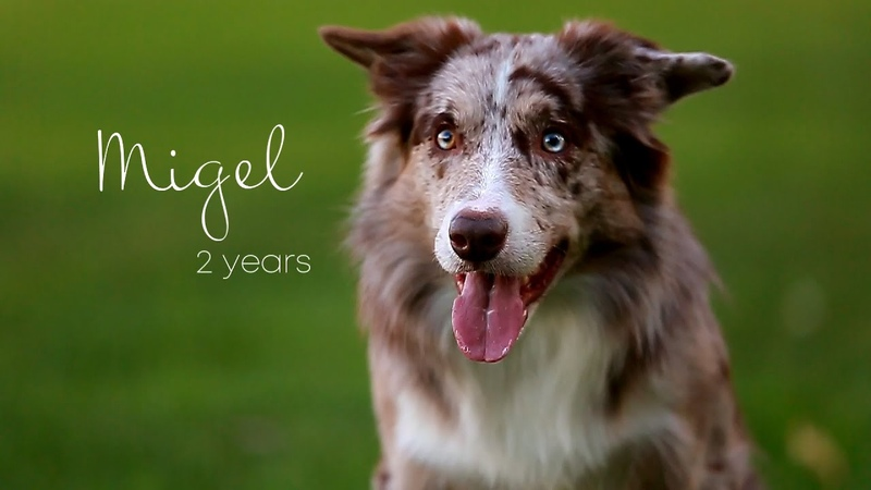 Migel border collie 2 years