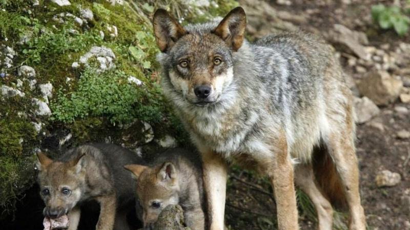 💥 ОХОТНИКИ были в ШОКЕ когда подошли к волчьему логову и увидели