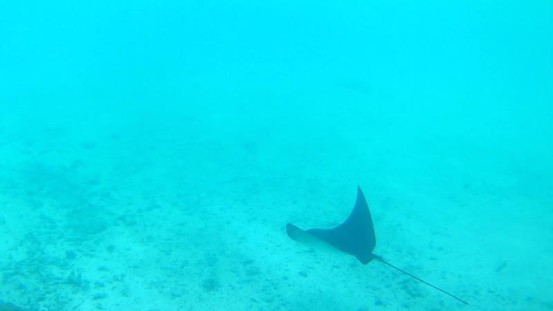 Мальдивские скаты