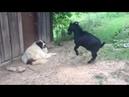 Хохма дня нервный козел испытал на прочность нервы собаки