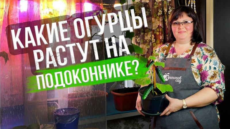 Как вырастить огурцы на подоконнике к 8 марта 2 надежных способа посева семян