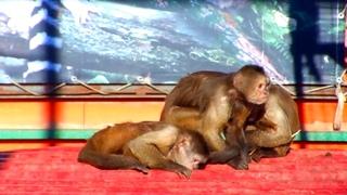 Nimble Capuchin Monkeys