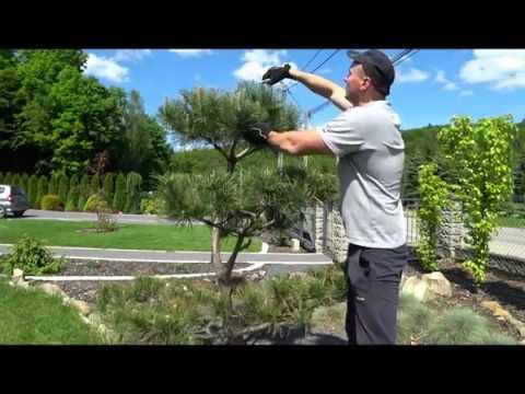 Zagęszczanie sosny na bonsai niwaki topiary