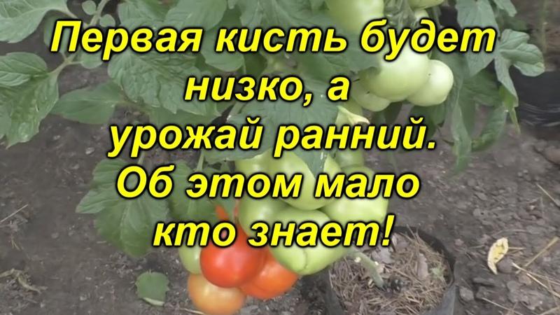 Сделайте это сейчас и Вы будете с ранним урожаем томатов