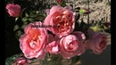 дам де шенонсо. чайно-гибридная роза, питомник роз полины козловой,