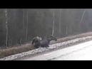 Björn attackerar älg piteå Bear attacking moose sweden