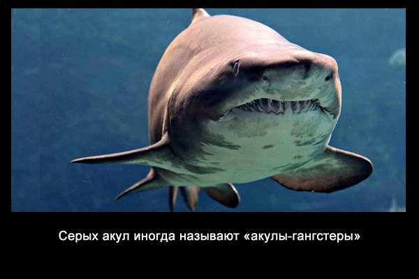 Valteya - Интересные факты о акулах / Хищники морей.(Видео. Фото) - Страница 2 CksTv9C-1bA