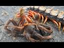 СКОЛОПЕНДРА ПРОТИВ паука скорпиона змеи богомола телифона и даже летучей мыши