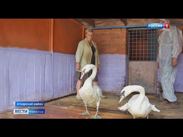 В Аткарском районе раненому лебедю нашли пару