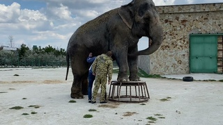 А вы видели как слону ДЕЛАЮТ ПЕДИКЮР и дарят букеты?