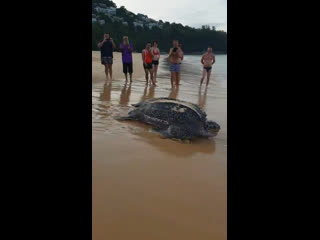 Кожистая черепаха на пляже Найтон, Пхукет