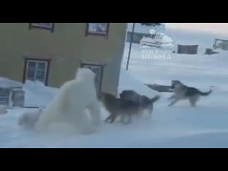 Белая медведица с двумя медвежатами вышла к людям в Якутии, видимо в поисках пищи, где наткнулась на стаю собак.