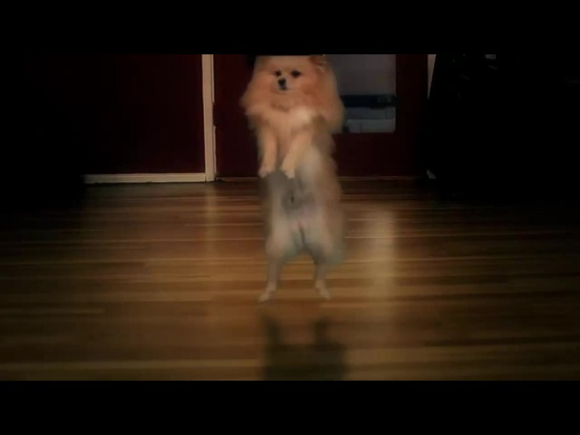 DOGSTEP! (Dubstep Dancing Dogs)